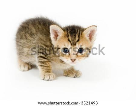 A small kitten looks curious on a white background