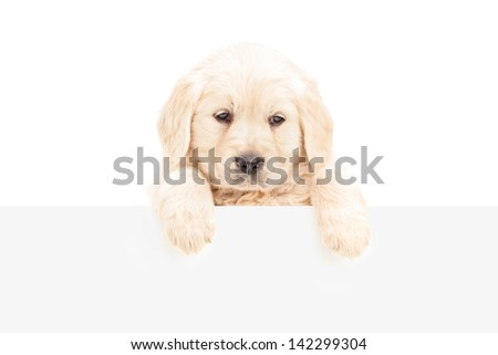 A small labrador retriever posing behind a blank panel, isolated on white background