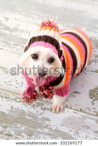A small maltese terrier wearing winter fashion and sitting on old timber floorboards.