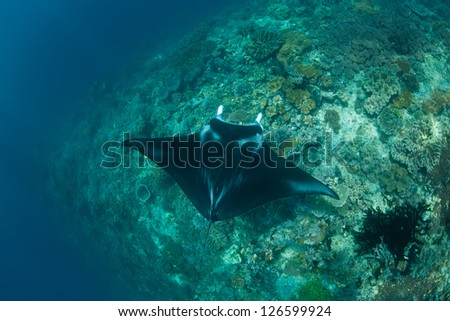 A small Manta ray (Manta alfredi) swims over a shallow reef in Raja Ampat, Indonesia.  This area is one of the most biologically diverse on Earth in terms of marine life. - stock photo