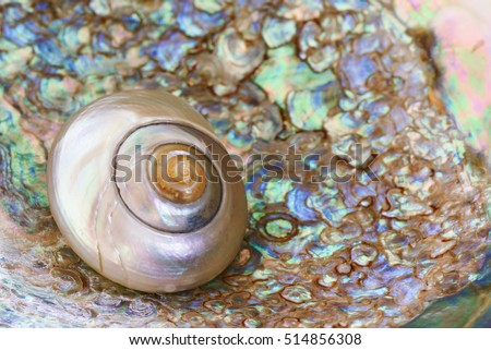 A small mother of pearl shell nested inside an abalone shell