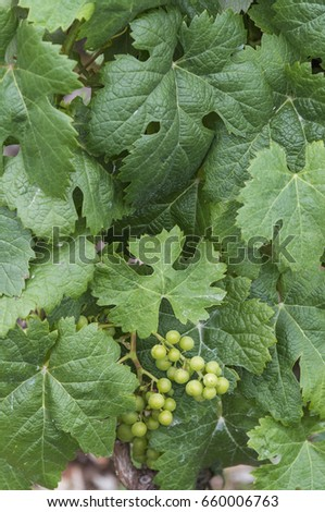 A small new bunch of grapes, peeking through the green leaves of a vine