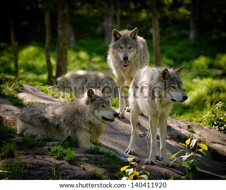 A small pack of three Eastern timber wolves gather on a rocky slope in the North American wilderness. - stock photo