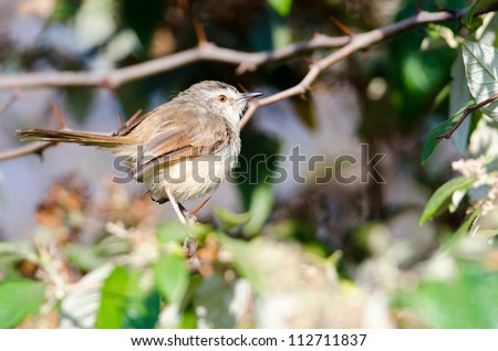 A small plump Prinia perched in a green bush with space to its right
