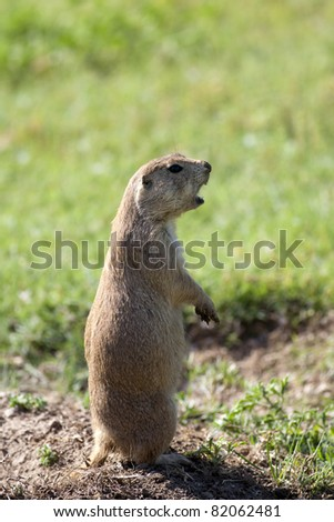A small prairie dog stands tall while barking. - stock photo