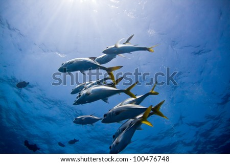 A small school of trevally hover above a coral bomie in Belize. - stock photo