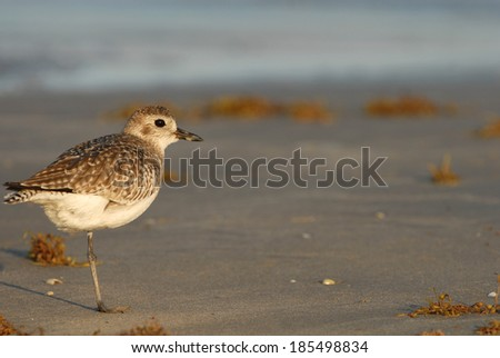 A small shore bird, photographed on Padre Island National Seashore in southern Texas. - stock photo