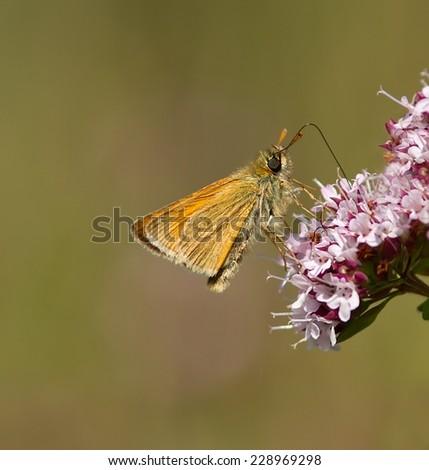 A Small Skipper feeding on a wildflower. - stock photo