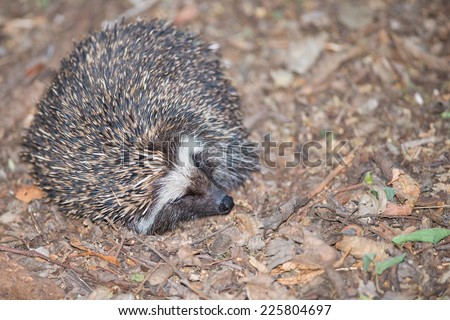 A small South African hedgehog curled up on a leafy forest floor