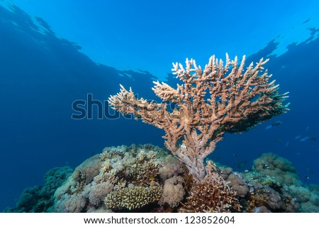 A small staghorn coral grows near the surface of a coral reef - stock photo