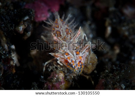 A small Tiger shrimp (Phyllgnathia ceratophthalmus) hides in a dark recess on a coral reef in Lembeh Strait, Sulawesi, Indonesia.  This is a rather rare crustacean. - stock photo