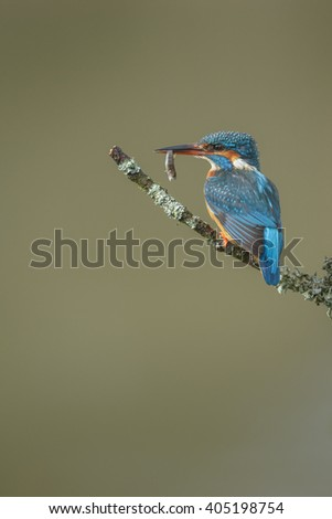 A small trout hangs from the beak of a kingfisher