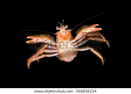 A small tuna crab brought to California by El Nino currents swims in mid water staring at my camera. - stock photo