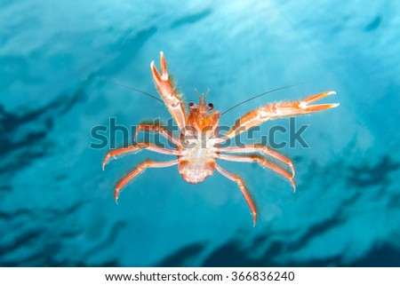 A small tuna crab brought to California by El Nino currents swims in mid water staring at my camera against a blue background of clear water and sunshine. - stock photo
