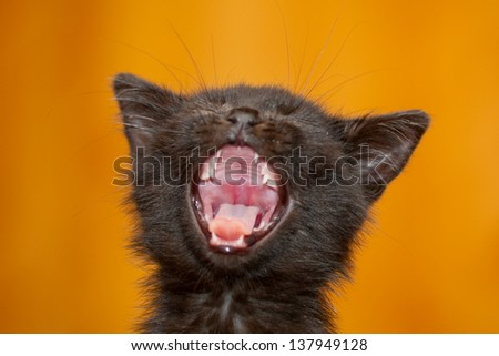 A small 4 weeks old black kitten yawning - stock photo