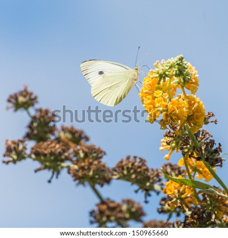A small white butterfly collects pollen from a yellow butterfly bush bloom. - stock photo