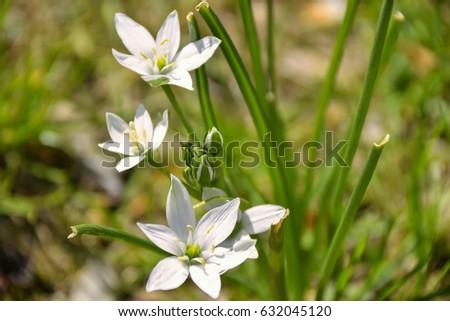 Small white flower called crow onion stock photo royalty free a small white flower called crow onion mightylinksfo