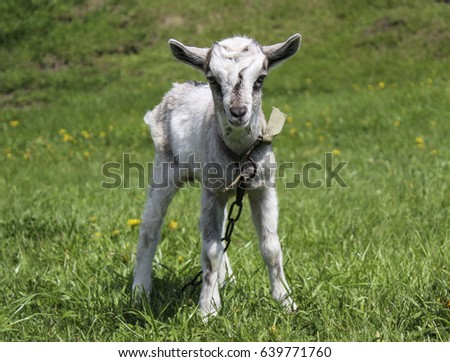 a small white goat stands on green grass in the village