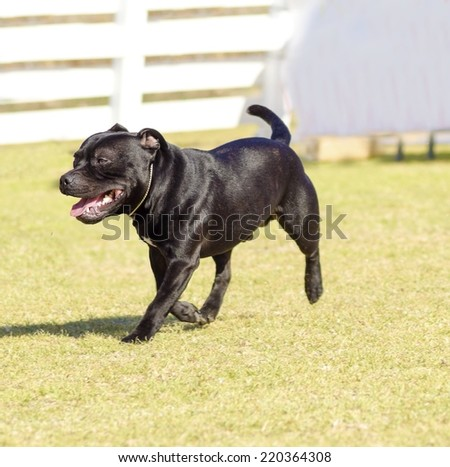 A small,young,beautiful,black Staffordshire Bull Terrier walking on the grass looking playful and cheerful.English Staff dogs are medium sized,stocky and very muscular dogs similar to american pitbull - stock photo