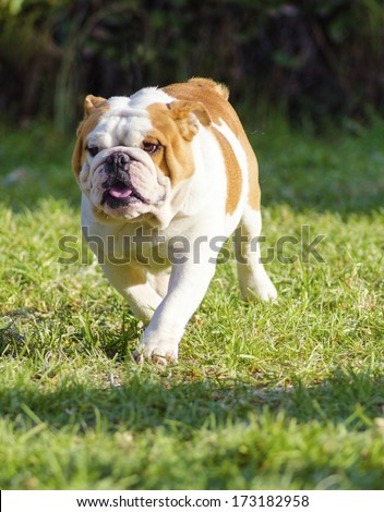 A small, young, beautiful, brown and white English Bulldog running on the lawn looking playful and cheerful. The Bulldog is a muscular, heavy dog with a wrinkled face and a distinctive pushed-in nose. - stock photo