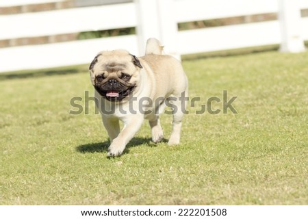 A small,young,beautiful,fawn Pug with a wrinkly short muzzled face running on the grass. The chinese pug is a happy dog with deep wrinkles, round head and curled tail over the back.  - stock photo