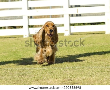 A small,young beautiful fawn,red English Cocker Spaniel dog walking on the grass,with its coat clipped into a show cut, looking very friendly and beautiful.Spanyell dogs are an intelligent,merry breed - stock photo