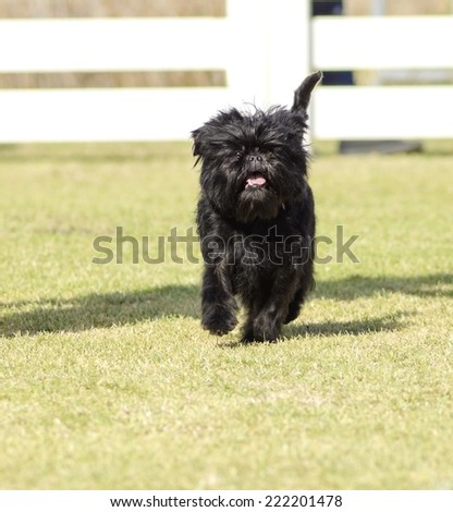 A small young black Affenpinscher dog with a short shaggy wire coat walking on the grass. The Affie looks like a monkey and is an active, adventurous, curious, stubborn, fun-loving and playful breed. - stock photo