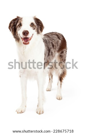 A smiling Border Collie Dog standing while looking directly into the camera.