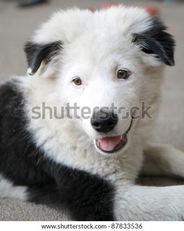 A smiling dog looks like panda - stock photo