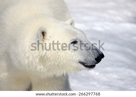 Polar bear smiling - photo#15