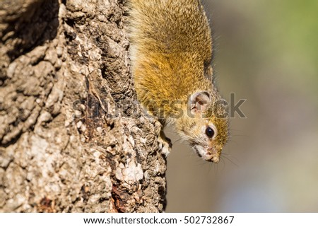 A Smith's Bush Squirrel (Paraxerus cepapi) hangs upside-down on a tree trunk (closeup); tree squirrels are perhaps the cutest of the many small mammals seen in Kruger National Park in South Africa