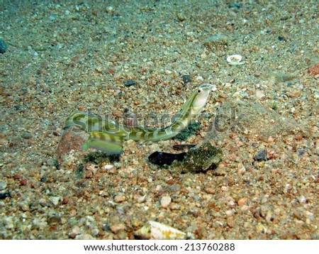 A snake blenny (Xiphasia setifer, blenniidae) in the open on sand - stock photo