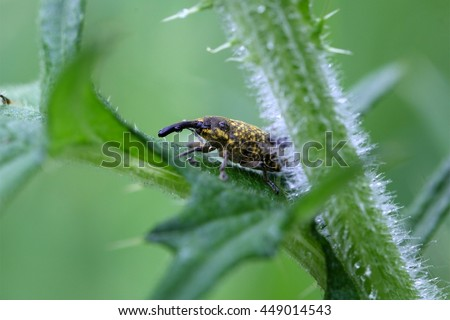 A snout beetle  of the species  Larinus beckeri on a thistle.