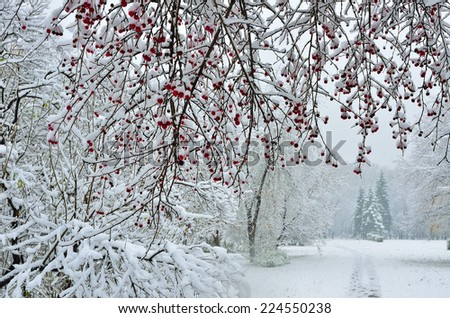 A snow-covered branch of wild apple tree with red fruits in the foreground and the footpath leading off in the winter park - stock photo