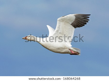 A snow goose wings across the blue sky and into the sunlight - stock photo