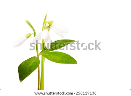 a snowdrop on white background - stock photo