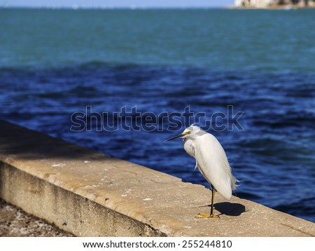 A Snowy Egret poses for a photo on a seawall with colorful blue and green seawater as a backdrop. - stock photo