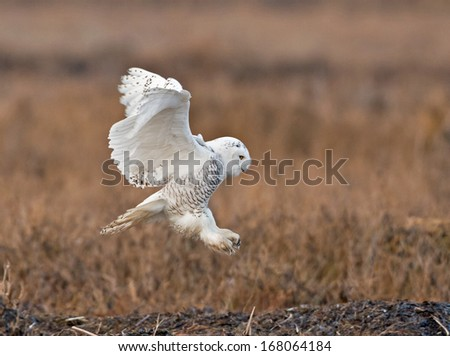 A snowy owl about to land on the marshlands of Boundary Bay in British Columbia - stock photo