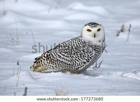 A Snowy Owl (Bubo scandiacus) sitting in the snow.  - stock photo