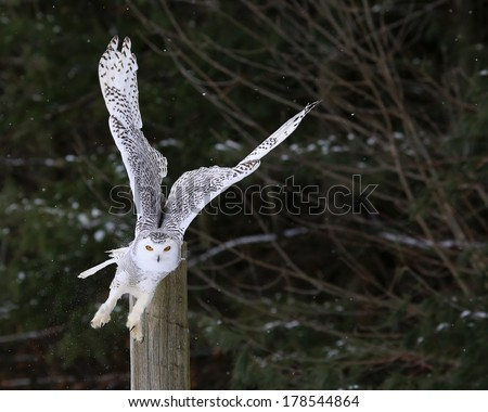 A Snowy Owl (Bubo scandiacus) taking flight from a perch.  - stock photo