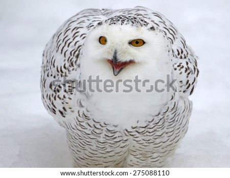 A Snowy Owl (Bubo scandiacus) talking while in the snow.  - stock photo