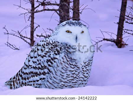 A snowy owl in the forest - stock photo