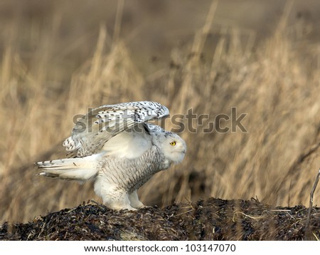 A snowy owl lands in a marsh in Delta, BC, Canada - stock photo