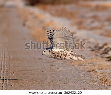 A Snowy Owl takes flight