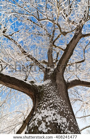 A snowy winter scene looking up at tall, snow covered oak tree against a pretty blue sky.