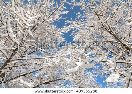 A snowy winter scene looking up at tall, snow covered trees against a pretty blue sky.