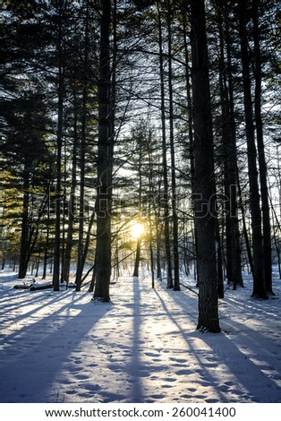 A snowy winter sunrise scene in a pine forest.  - stock photo