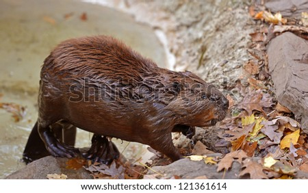 A soaking wet American Beaver (Castor canadensis) walks out of a small pool of water