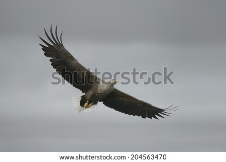 A soaring White tailed Eagle against an overcast sky. This bird was ringed in 1989. - stock photo