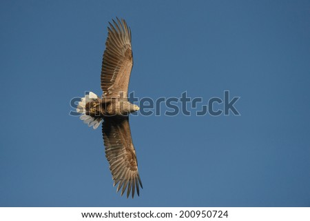 A soaring White-tailed Eagle directly overhead the camera as it glides majestically through the air scanning the surface of the sea for a potential meal. - stock photo
